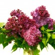 Lilac flowers over white — Stock Photo