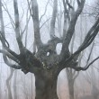 Big dead tree in foggy forest - Stock Photo