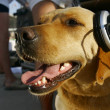 Dog in headphones — Stock Photo