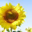 Close up of sunflower — Stock Photo #12615095