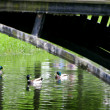 Stock Photo: Ducks in park lake