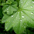 Close up of green leaves with water drops — Stock Photo