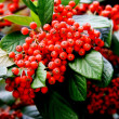 Stock Photo: Close up of red berries