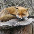 Red fox in zoo — Stock Photo