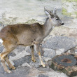 Young deer in zoo - Stock Photo