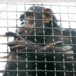 Chimp in cage — Stock Photo #12616109