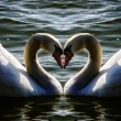 Swan heart - Stock Photo