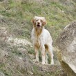 Hunting dog - Stock Photo