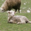 Young lamb on green grass - Stock Photo