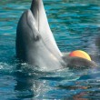 Bottle-nose dolphin playing with ball — Stock Photo #12617859