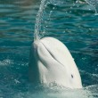 White whale throwing water from its mouth - Stock Photo