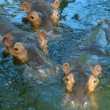 Tree hippos in water - Stock Photo