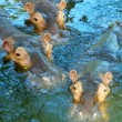 Three hippos in water - Stockfoto