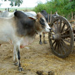 Stock Photo: Bulls and wooden cart
