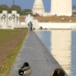 Ducks on US Capitol background — Stock Photo