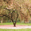 Stock Photo: Blossoming tree in central park, NYC, USA
