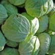 Heads of cabbage — Stock Photo #12619099