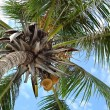 Coconut palm tree - Foto de Stock