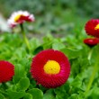 Stock Photo: Red flowers, shollow DOF