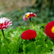 Stock Photo: Red flowers on flower-bed