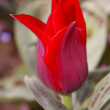 Close up of tulip, shallow DOF — Stock Photo