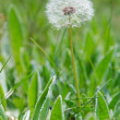 Royalty-Free Stock Photo: White dandelion in green grass