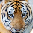 Close up of tiger head — Stock Photo