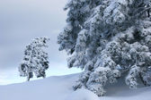 Big and small trees covered with snow — Stock Photo