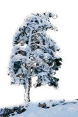 Pinetree covered with snow over white — Stock Photo