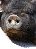 Close up of vietnamese pig snout — Stock Photo