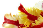 Close up of red and yellow tulip — Stock Photo