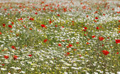 Red poppies and daisy flowers on spring field — Stock Photo
