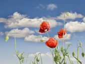 Red poppies on sky background — Stock Photo