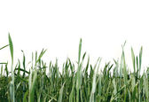 Green grass isolated over white — Stock Photo