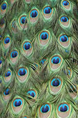 Peacock feathers pattern — Stock Photo