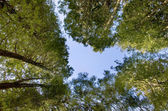 Tree tops — Stock Photo
