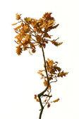 Oak branch over white — Stock Photo