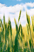Wheat field on sky background — Stock Photo