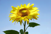 Sunflower over blue background — Stock Photo