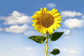 Sun flower over sky background — Stock Photo