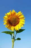 Sun flower isolated over blue sky — Stock Photo