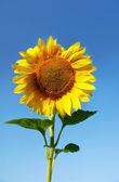 Sun flower isolated over blue sky — Stock Photo