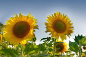 Two sun flowers ove sky background — Stock Photo
