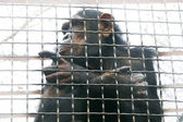 Chimp in cage — Stock Photo