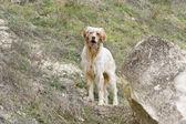 Cane da caccia — Foto Stock