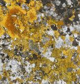 Yellow moss on rocks — Stock Photo
