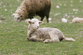 Young lamb on green grass — Stock Photo