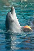Bottle-nose dolphin playing with ball — Stock Photo