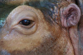 Close up of hippo eye — Stock Photo