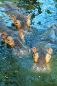 Three hippos in water — Stock Photo